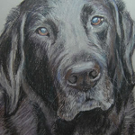 Black labrador drawing by Elaine Coe